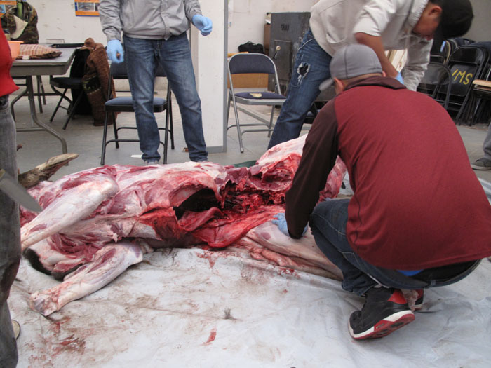 Nathan the Cree culture teacher, showing how to properly butcher a freshly caught moose.